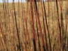 Living Willow Cuttings - Salix purpurea