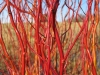 Living Willow Cuttings - Salix 'Erythroflexuosa' - Golden Curls Willow