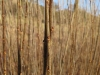 "Living Willow Cuttings - Salix triandra  ""Black Maul"""