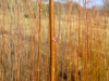 Living Willow Cuttings - Salix alba x fragilis