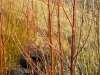 Living Willow Cuttings - Salix 'Americana'