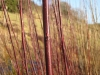 Living Willow Cuttings - Salix daphnoidies - Violet Willow